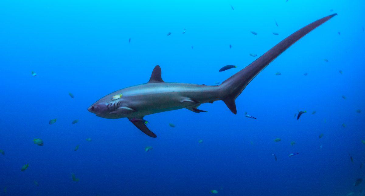 Increíble Anatomía Del Tiburón Macho Bandera - Imágenes de Anatomía ...