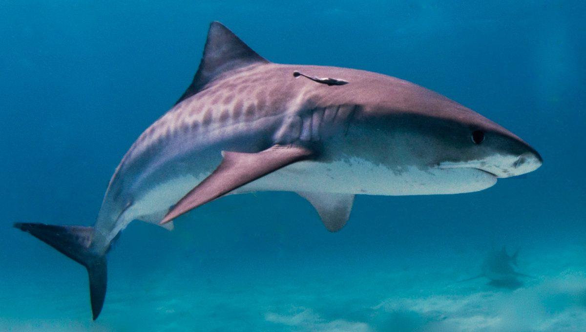 Características generales de los tiburones :: Imágenes y fotos