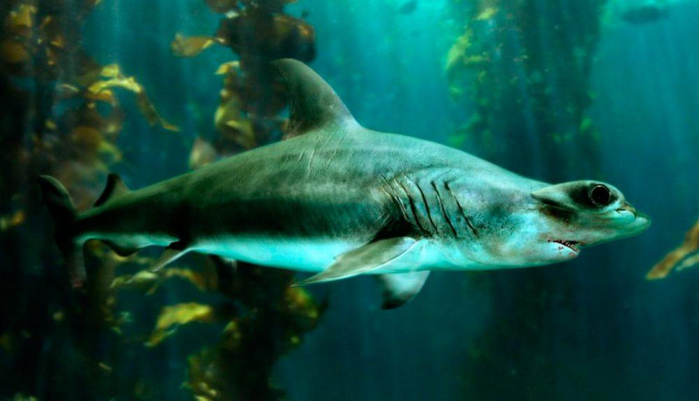 Características distintivas de los tiburones martillo gigantes ...