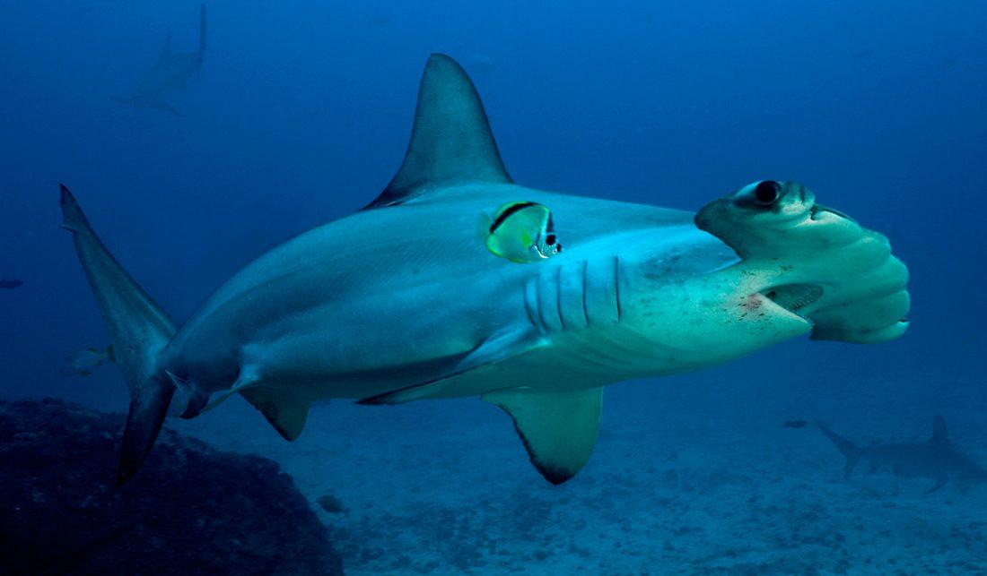 [Imagen: comportamiento-tiburones-martillo-comun.jpg]