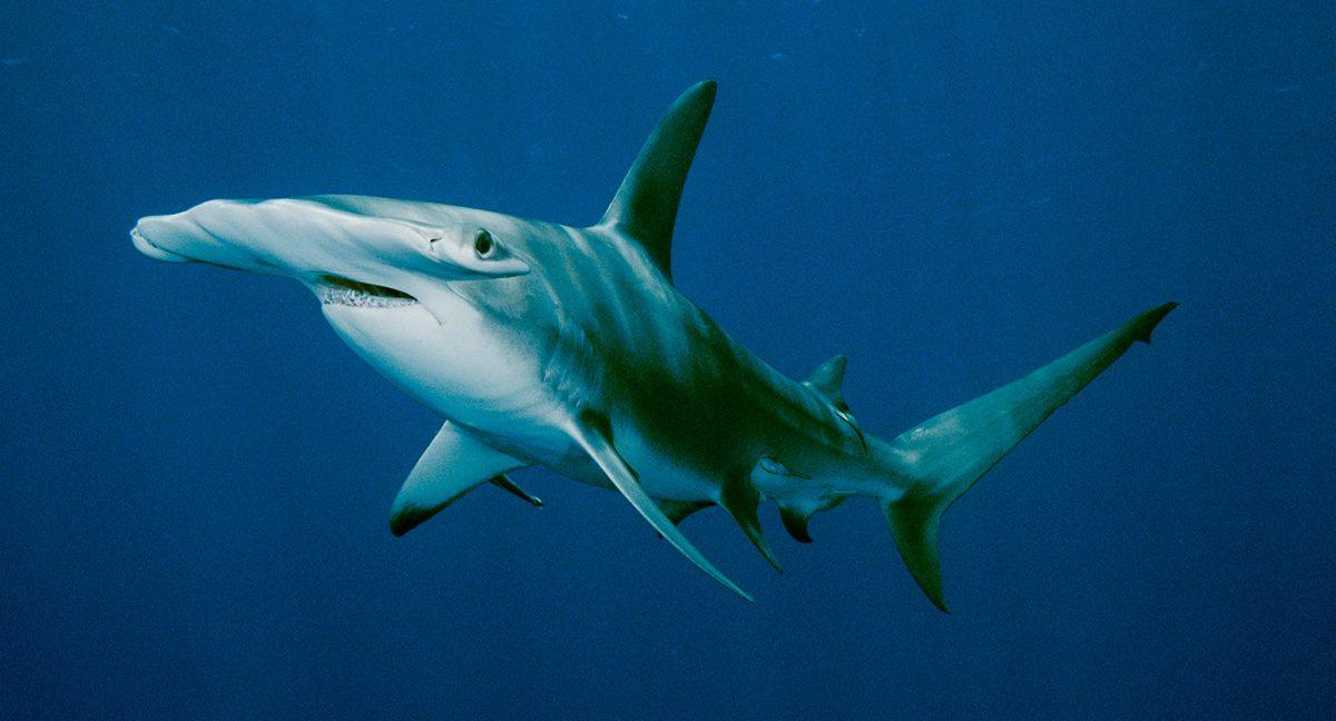 Guía de los tiburones