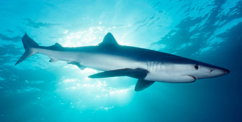 Galería de imágenes: Tiburones azules o tintoreras