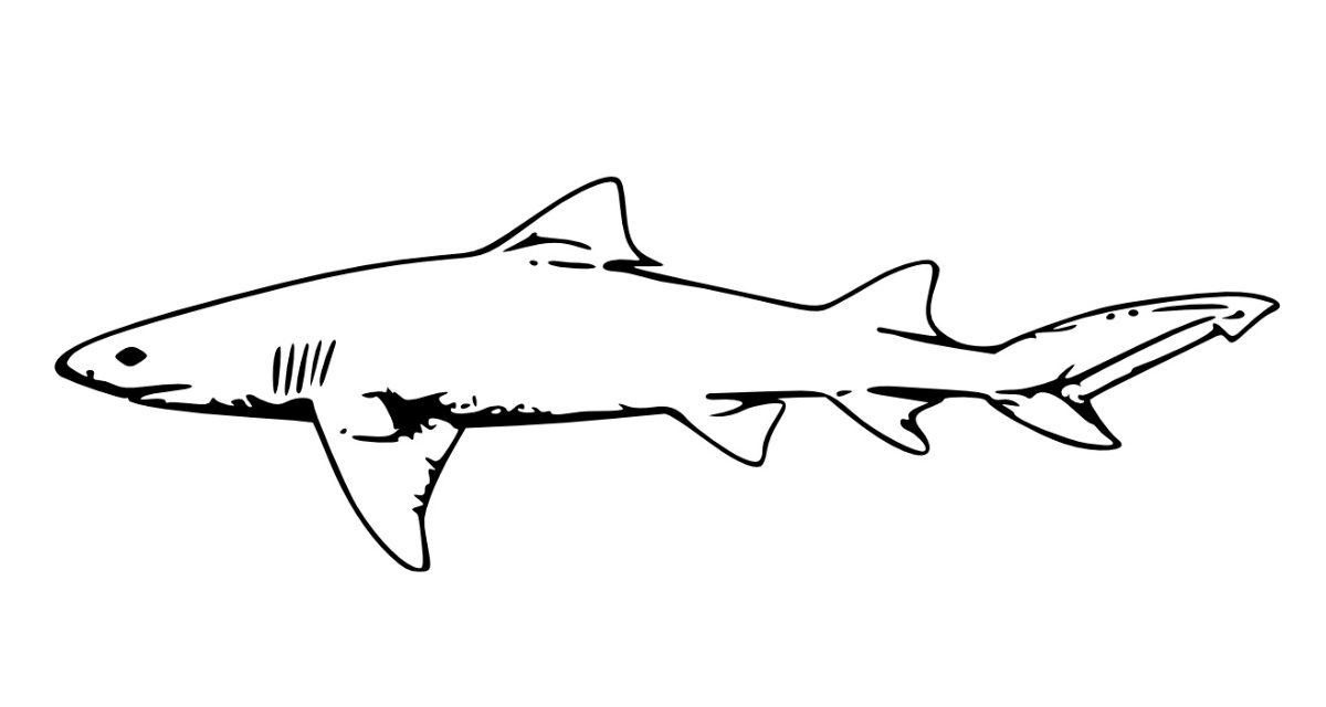 Tiburones martillo comn o cornuda comn