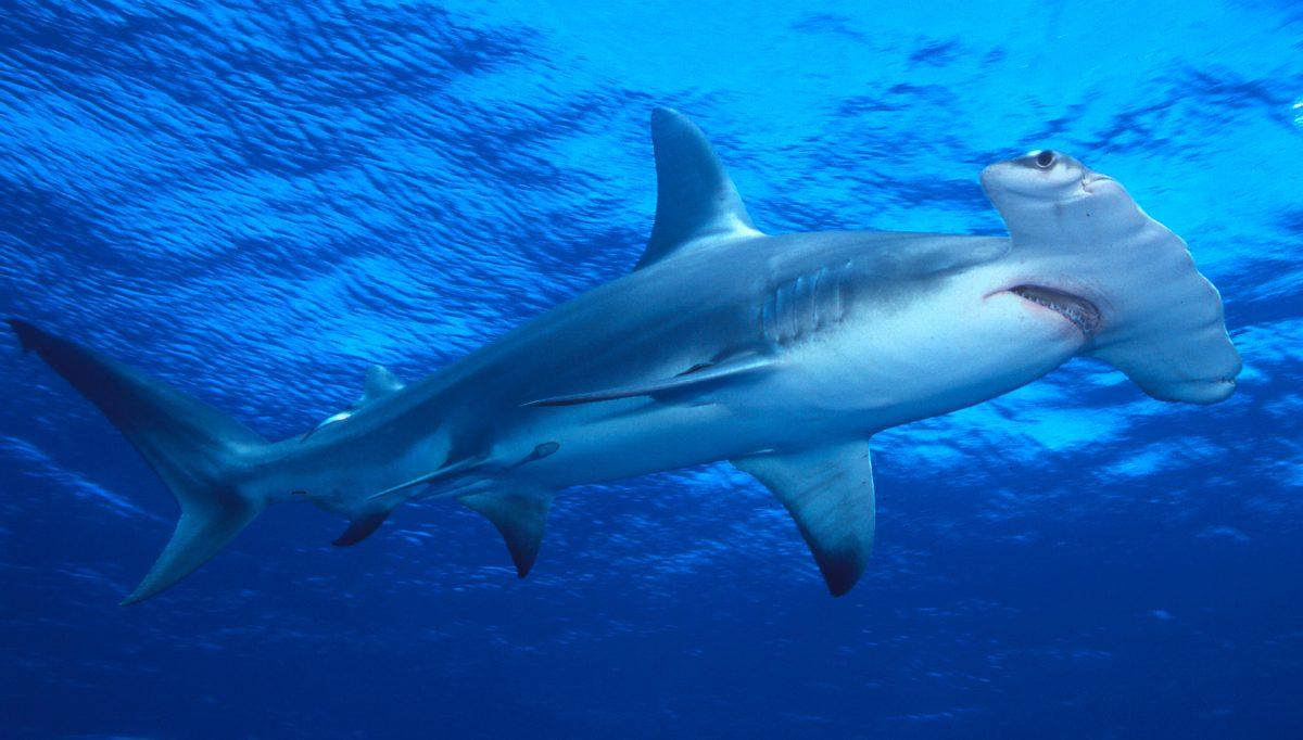 Tiburones martillo gigantes