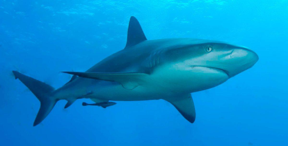 Sentidos de los tiburones