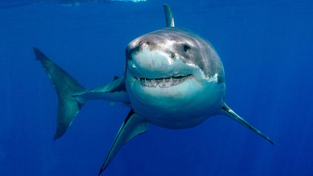 Foto del gran tiburón blanco :: Imágenes y fotos