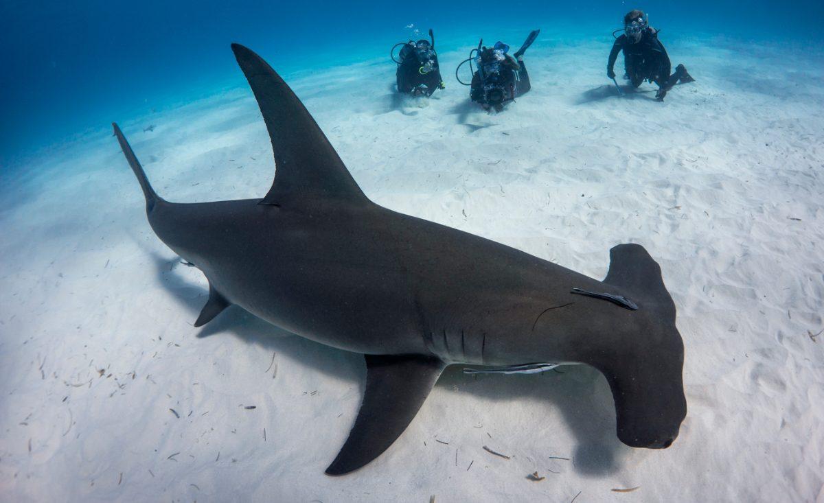 Foto del tiburón martillo gigante :: Imágenes y fotos