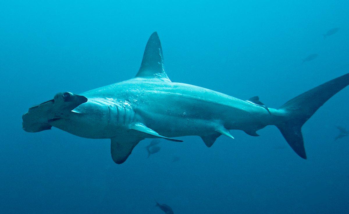 Fotos de tiburones martillo común :: Imágenes y fotos
