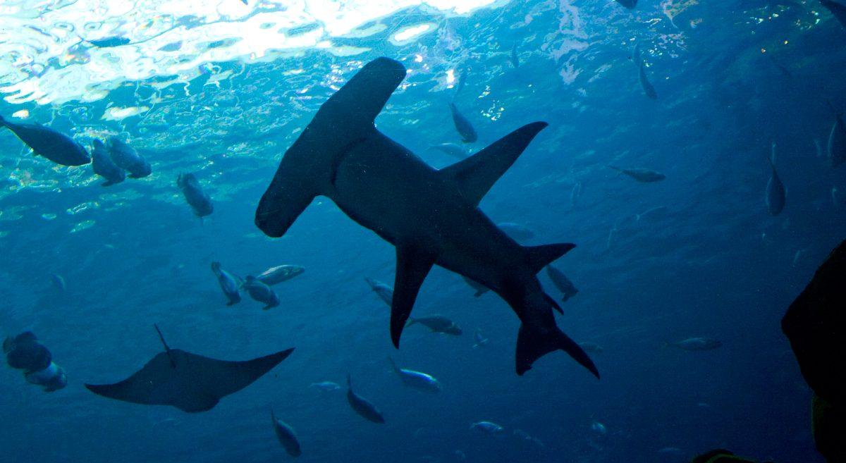 Hábitat de los tiburones martillo gigantes :: Imágenes y fotos