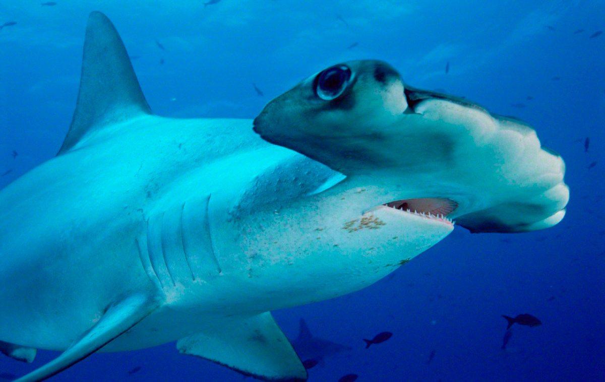 Tiburón martillo común o cornuda común :: Imágenes y fotos