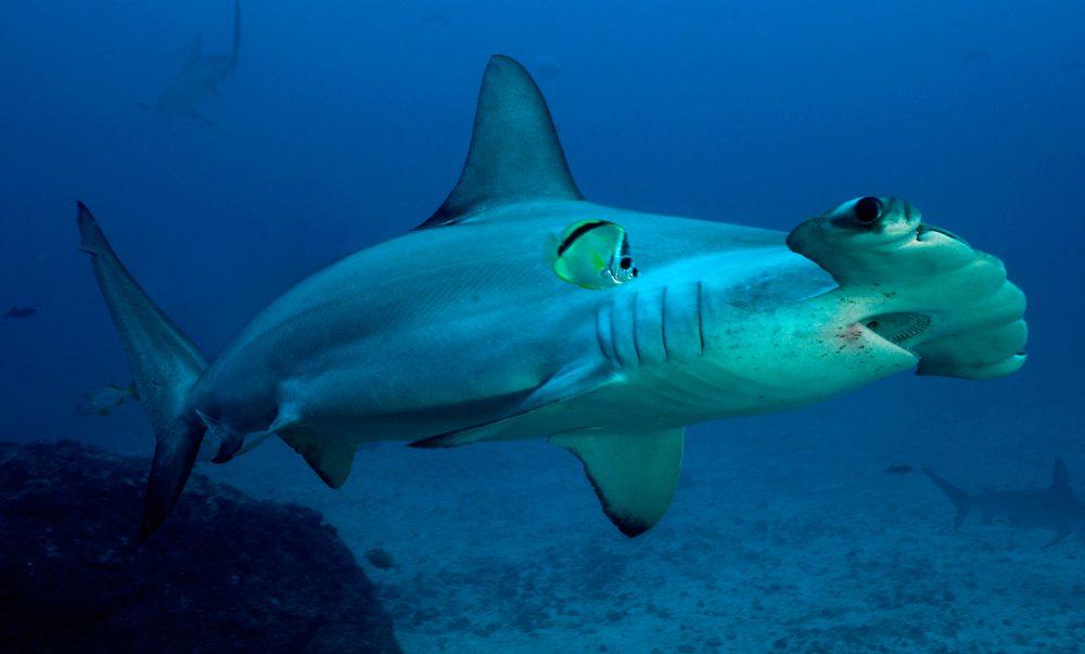 Tiburón martillo liso :: Imágenes y fotos