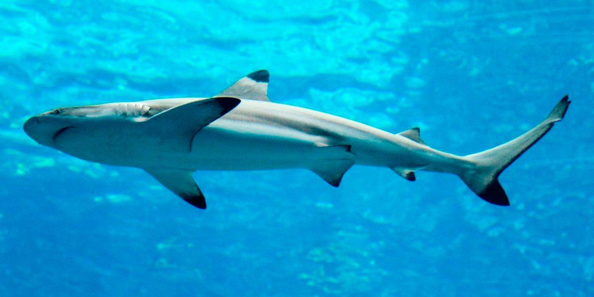 Tiburones: guías de especies, imágenes y recursos.
