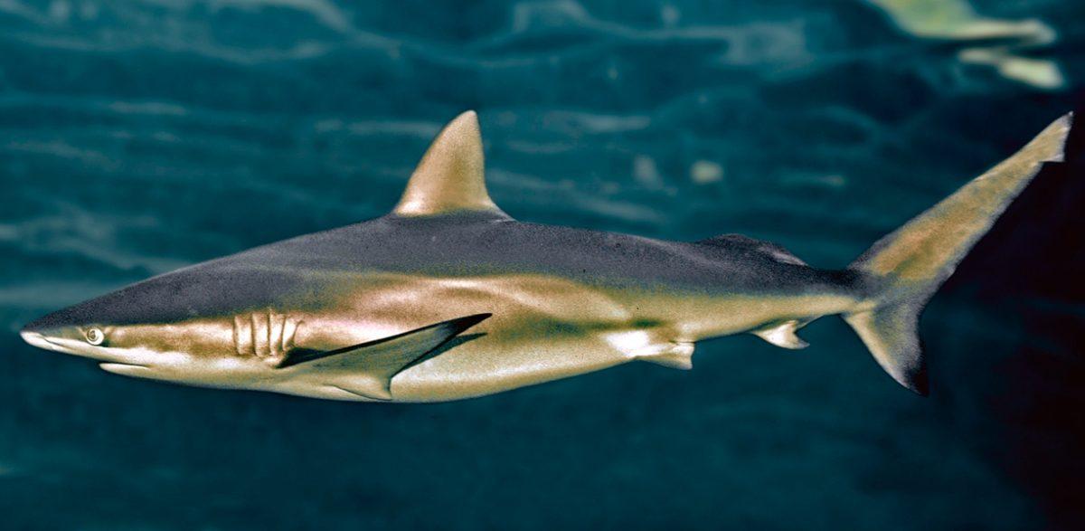 Tiburones cobrizo