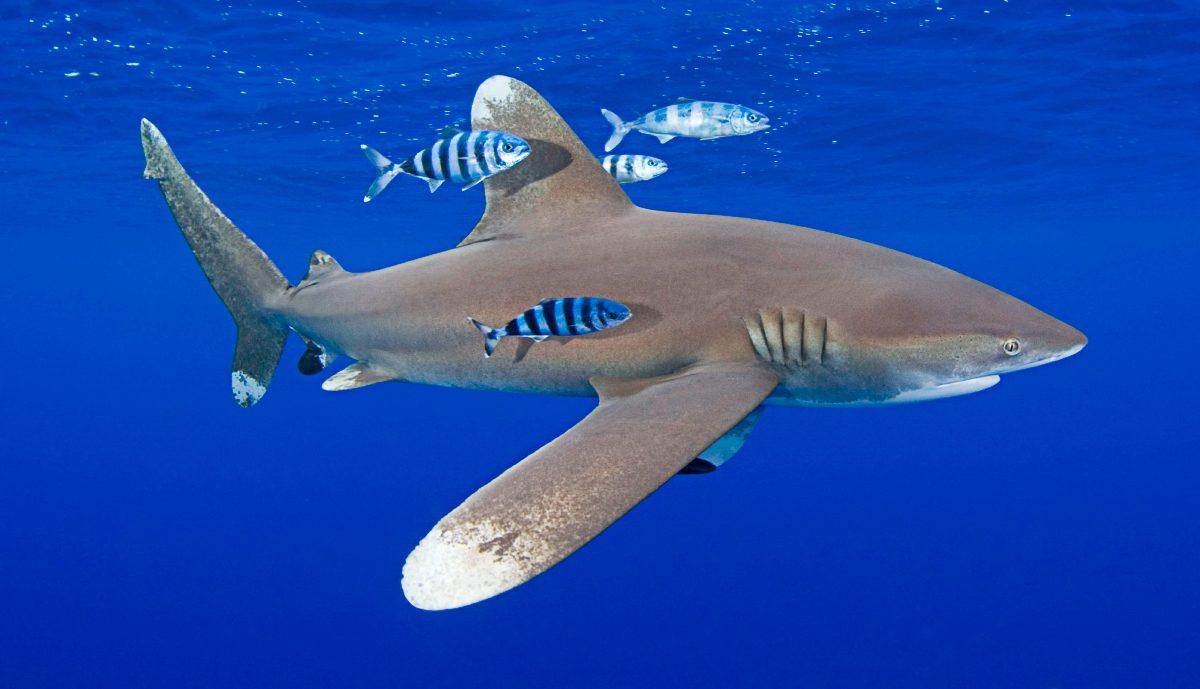 Tiburones oceánicos de puntas blancas