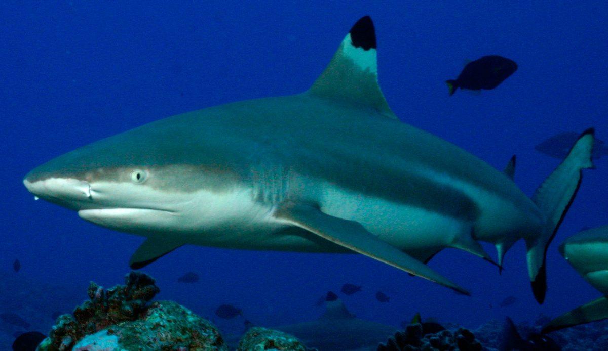 Tiburones de puntas negras
