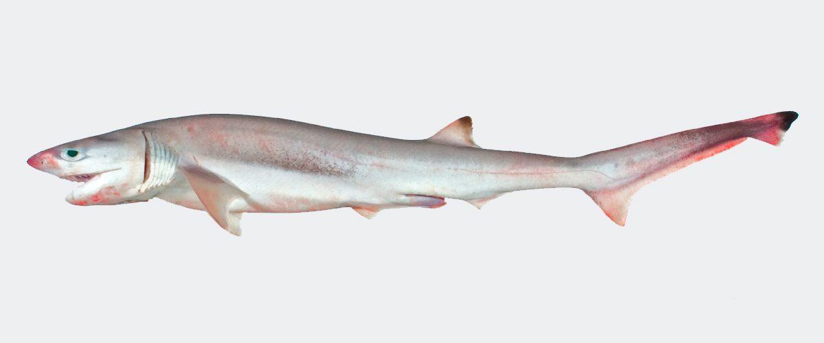 Tiburones de siete branquias