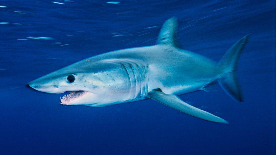 Tiburones mako o de aleta corta