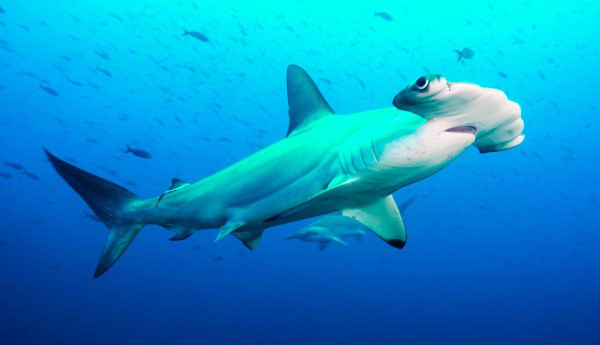 Tiburones martillo común o cornuda común