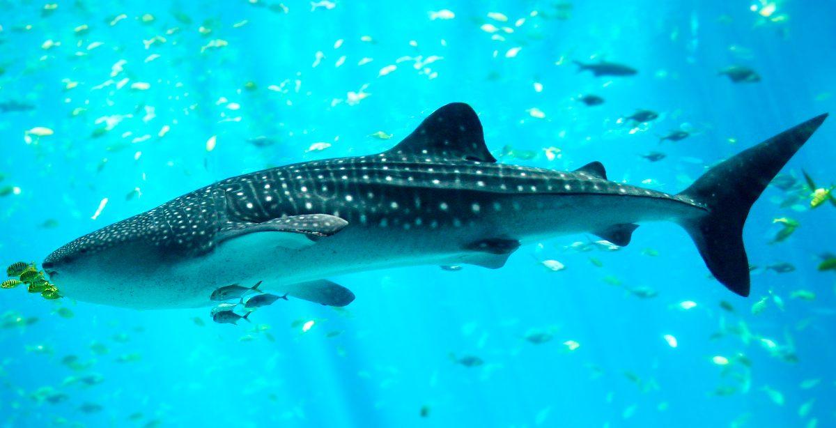 Clases de tiburones