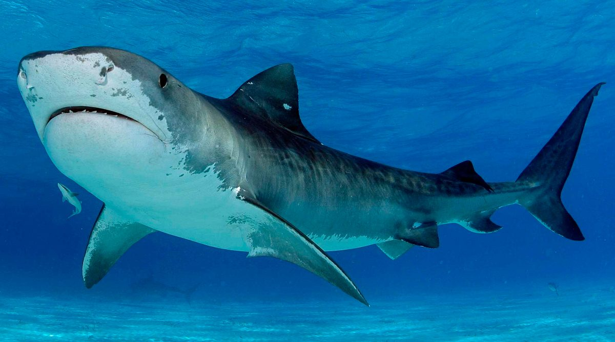 Tiburones tigres