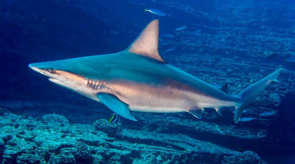 Tiburones trozo