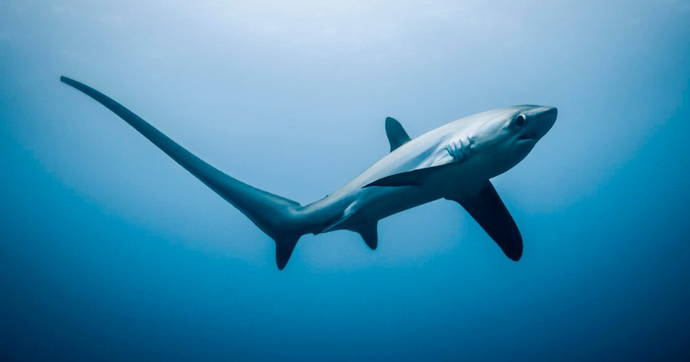 Tiburones zorro